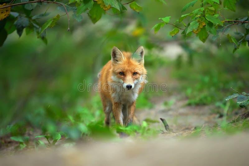 一只镍耐热铜狐狸狐狸的画象 库存图片