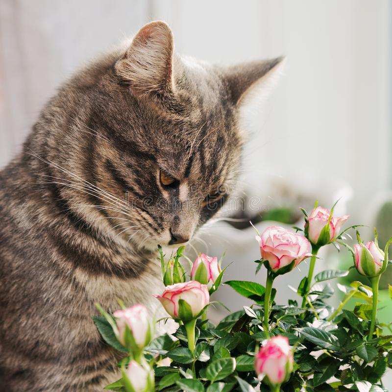 一只镶边灰色猫嗅在灌木玫瑰 库存图片