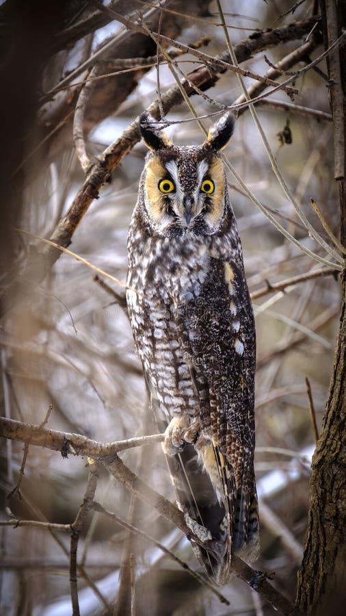 一只长耳朵猫头鹰的画象 免版税库存照片