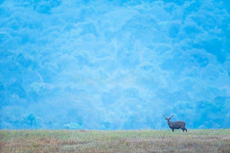 一只雄鹿黄昏在草原放松,美丽的蓝山背景 富吉欧野生动物保护区 库存图片