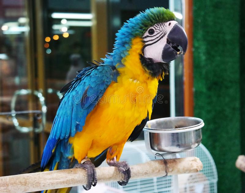 一只非常美丽的罕见的五颜六色的鹦鹉 库存图片