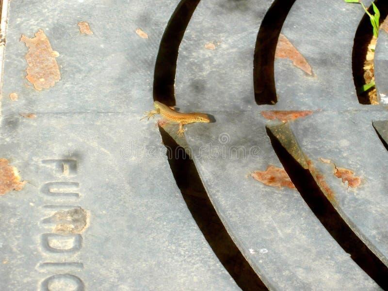 一只非常谨慎蜥蜴 库存图片