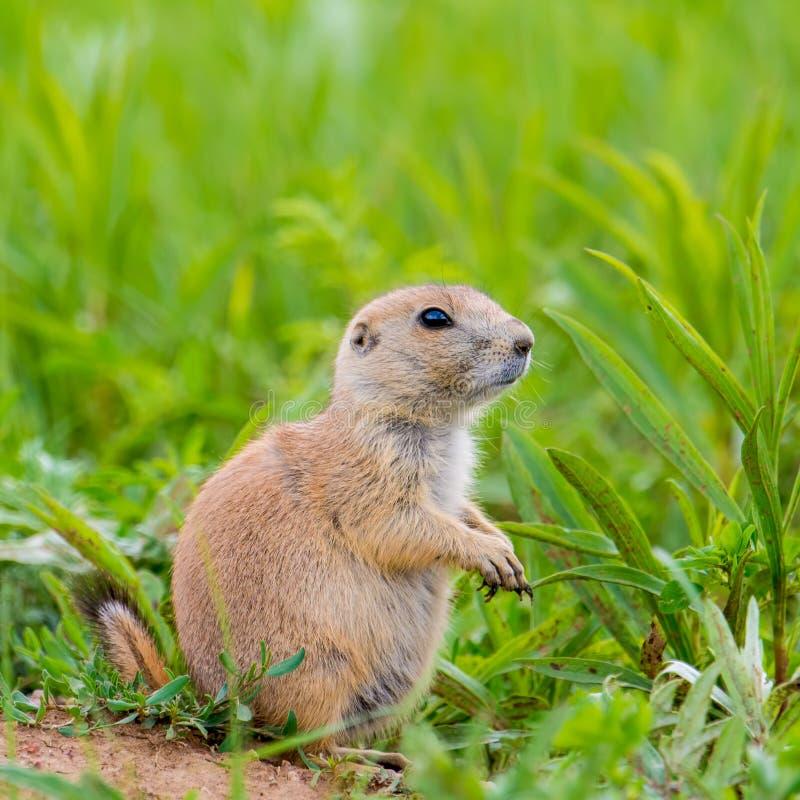 一只非常逗人喜爱,毛茸和传神草原土拨鼠的特写镜头画象在Custer国家公园-南达科他 库存图片