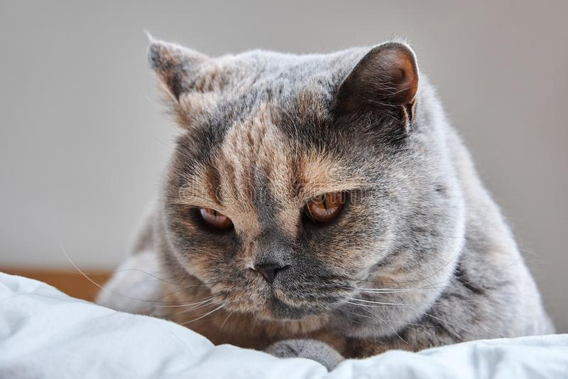 一只顶头英国Shorthair猫的细节 库存图片