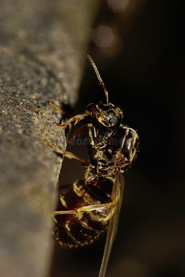 一只飞过的蚂蚁的白种人垂直宏观侧视图  免版税图库摄影