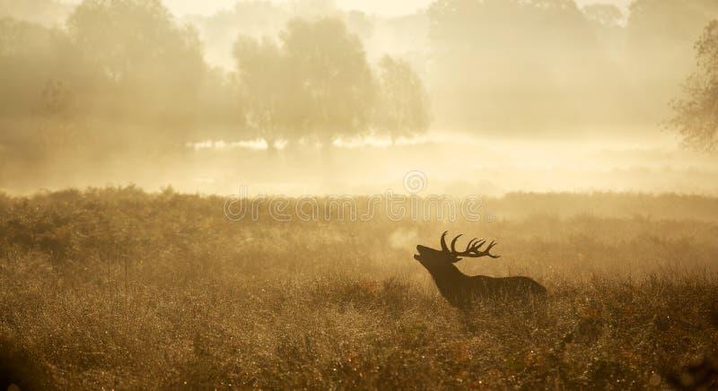 一只马鹿雄鹿的剪影 库存照片