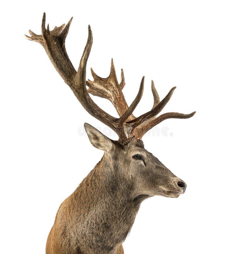 一只马鹿雄鹿的特写镜头 免版税库存图片