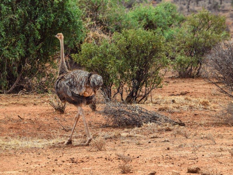 一只驼鸟在桑布鲁国家储备,肯尼亚 图库摄影