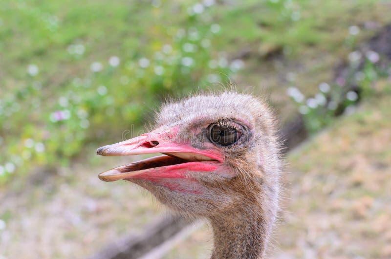 一只驼鸟特写镜头顶头射击  图库摄影