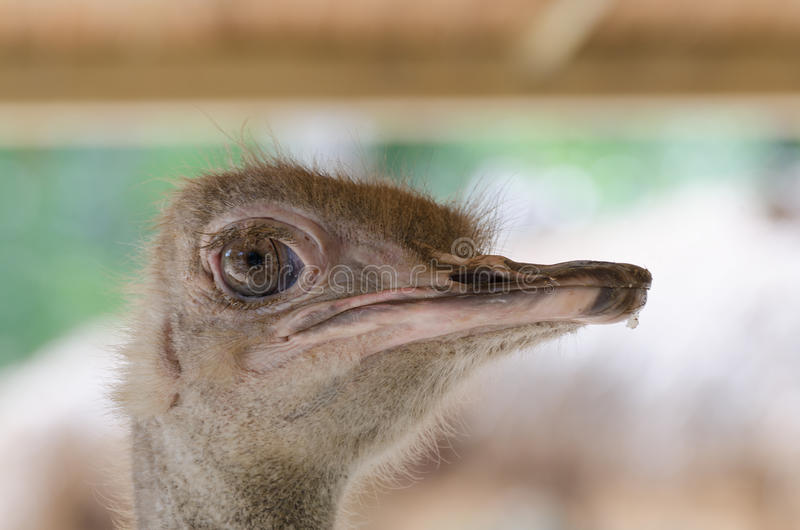 一只驼鸟特写镜头顶头射击  免版税库存照片