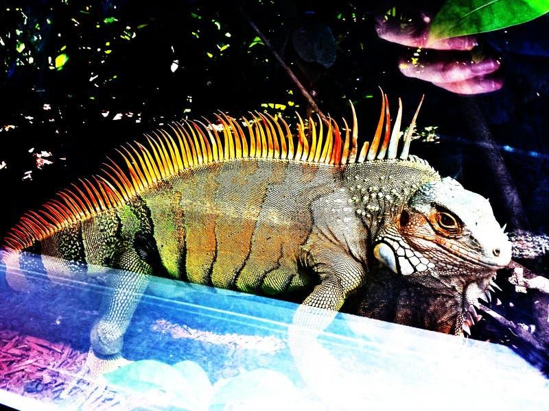一只鬣鳞蜥通过窗口 库存图片
