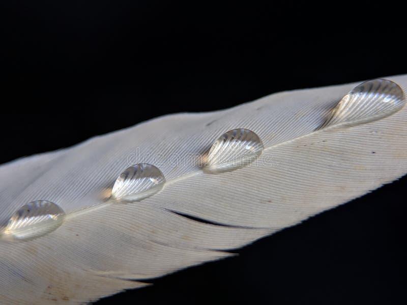 一只鸟的羽毛在小滴的在黑暗的背景的水 免版税库存照片