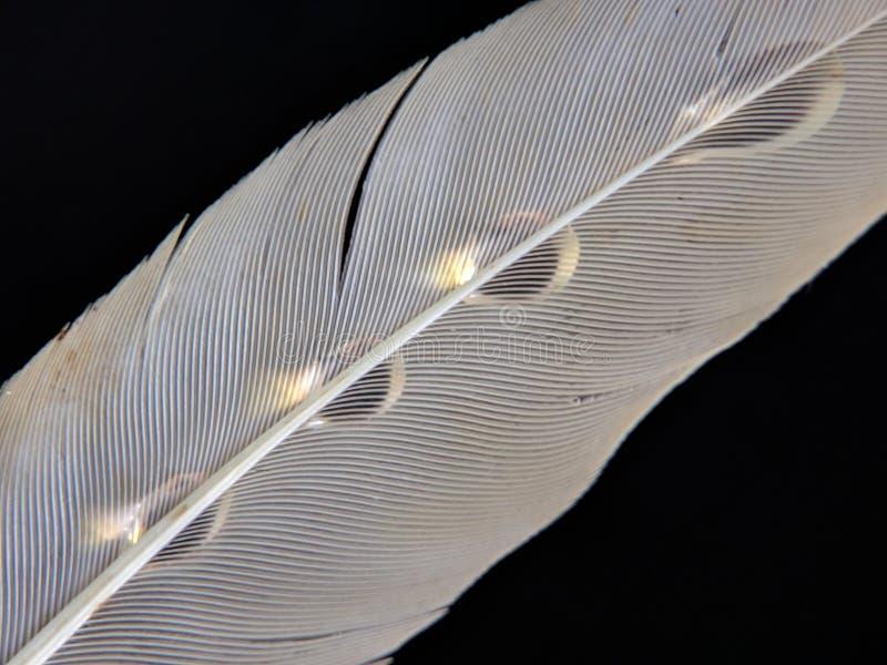 一只鸟的羽毛在小滴的在黑暗的背景的水 图库摄影