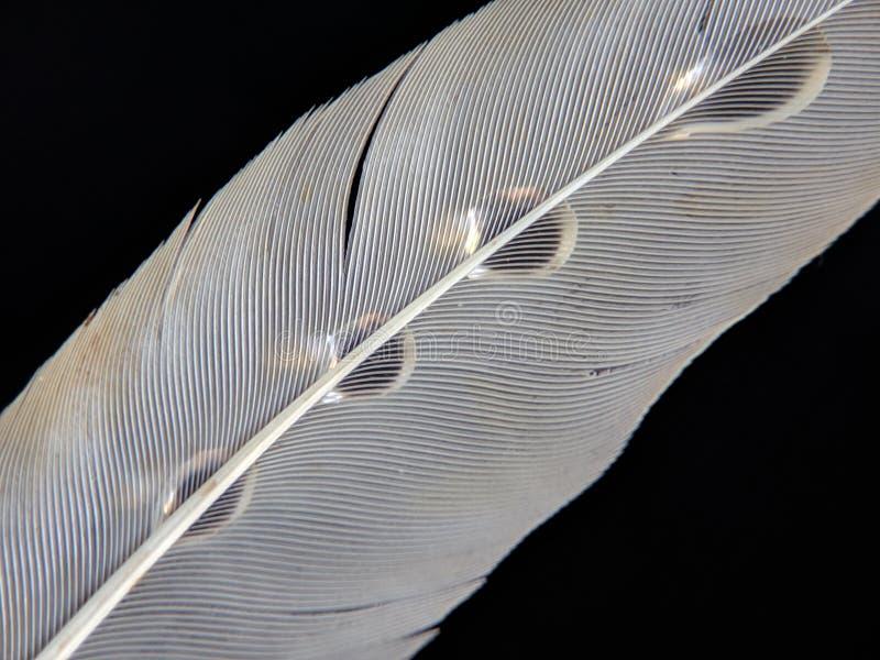 一只鸟的羽毛在小滴的在黑暗的背景的水 库存照片