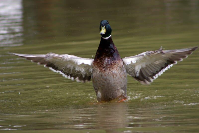 Download 一只鸭子在池塘 库存照片. 图片 包括有 游泳, 池塘, 敌意, 双翼飞机, 通配, 鸭子 - 72367026