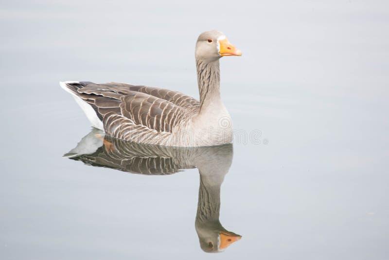 一只鸭子的反射在池塘 库存图片