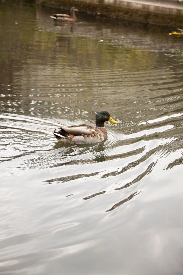 一只鸭子的画象与反射的 库存图片