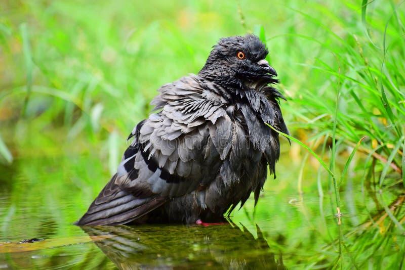 一只鸽子在池水站立 免版税库存图片