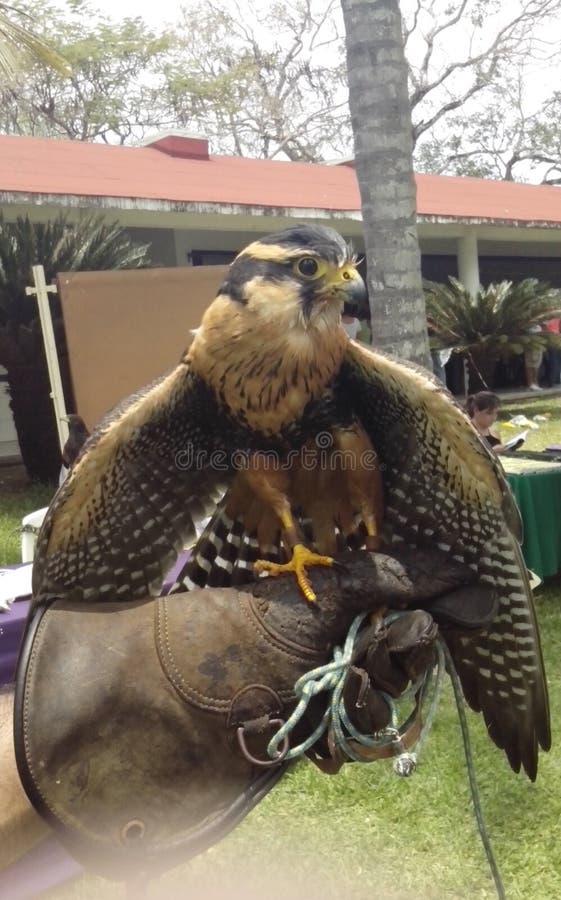 一只鹰在我的手上 免版税库存照片