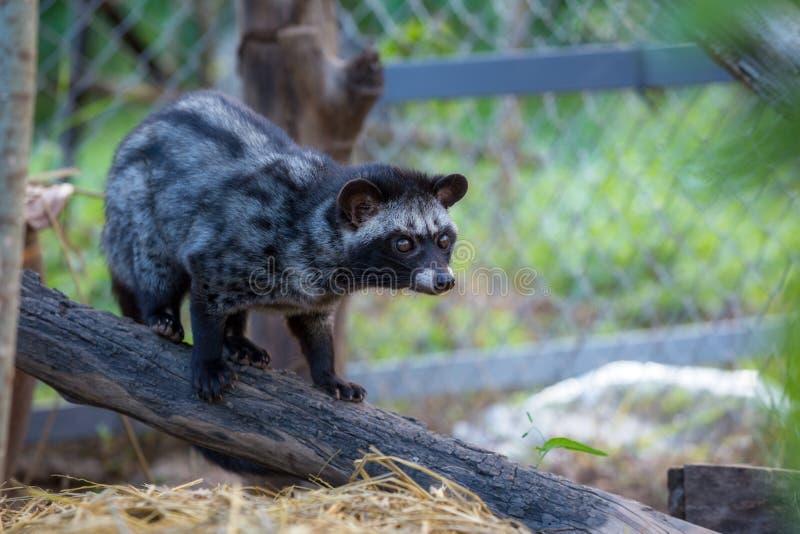 一只麝猫在咖啡庭院里 库存图片