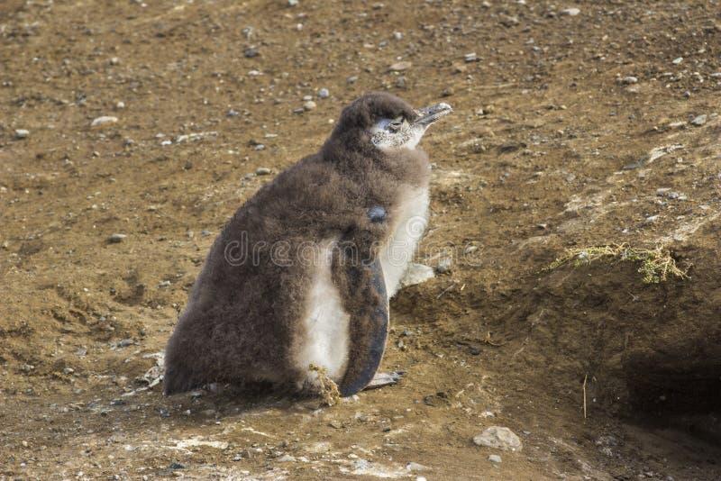 一只麦哲伦小企鹅在圣诞老人马格达莱纳海岛,巴塔哥尼亚,智利 库存照片