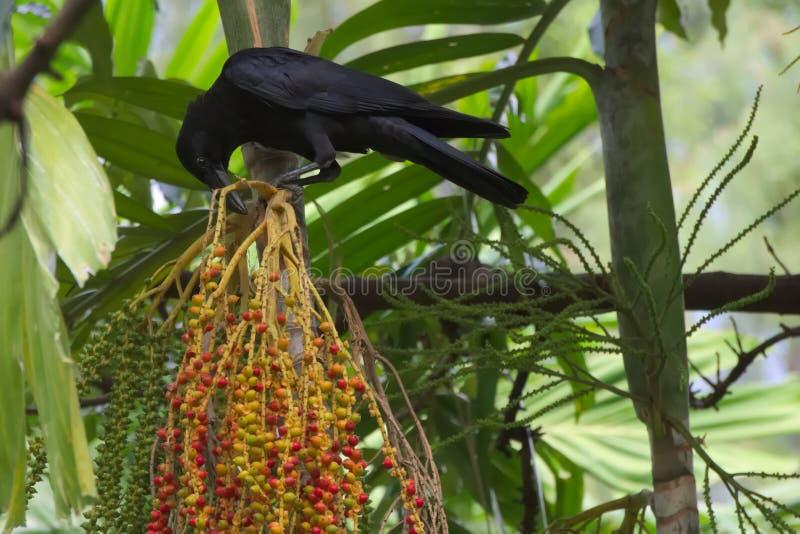 一只黑乌鸦,被栖息在明亮的棕榈群上在一个豪华的泰国庭院公园结果实,决定在它的下种膳食选择, 库存照片