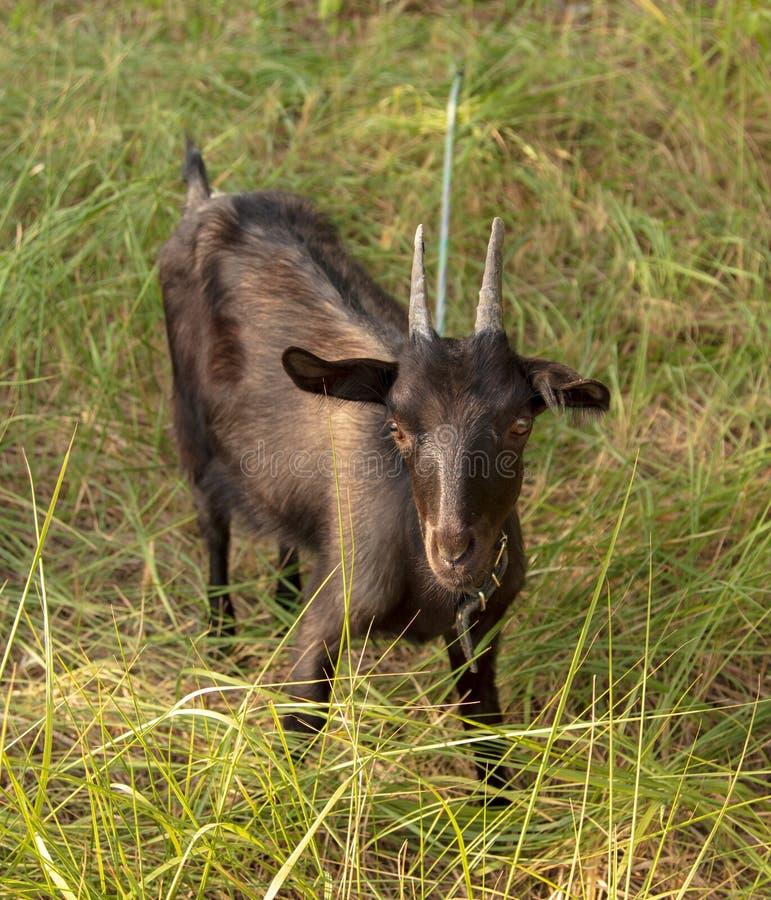 一只黑山羊的画象在牧场地的 免版税图库摄影