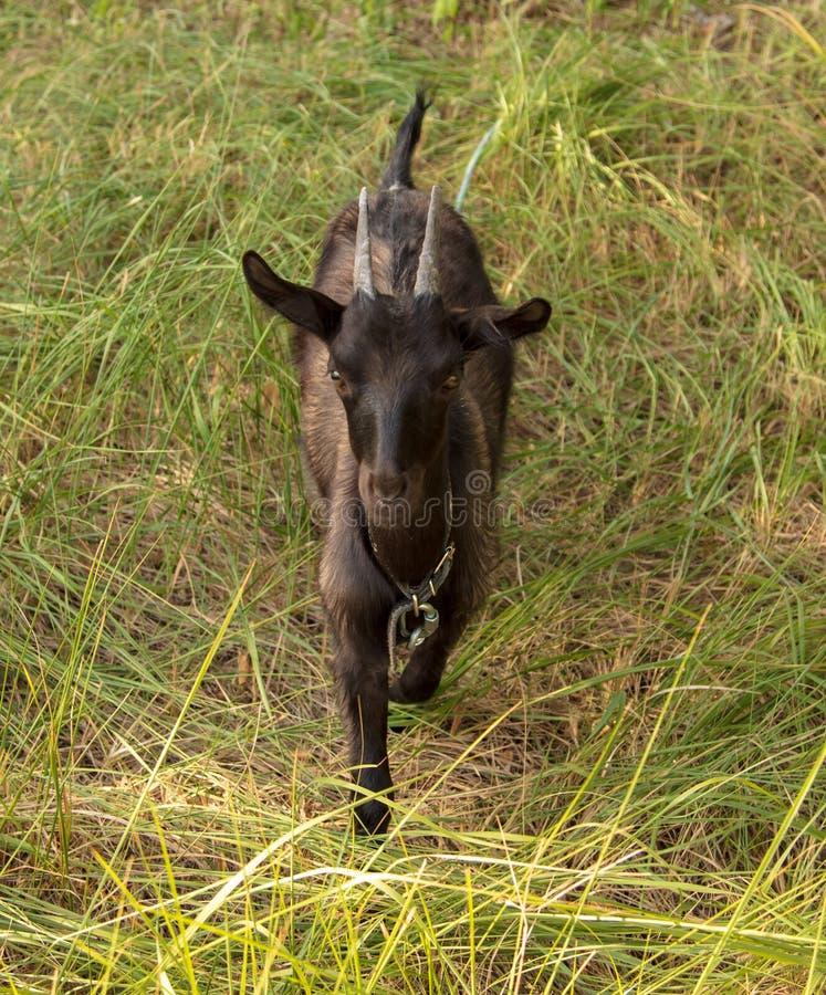 一只黑山羊的画象在牧场地的 库存照片