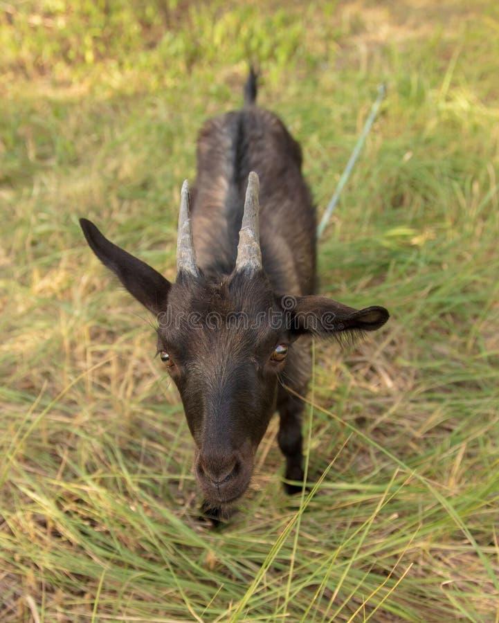 一只黑山羊的画象在牧场地的 图库摄影