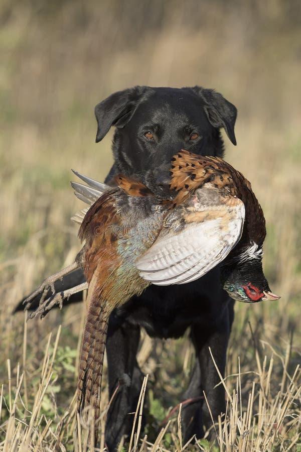 一只黑拉布拉多猎犬用雄鸡野鸡 免版税库存照片