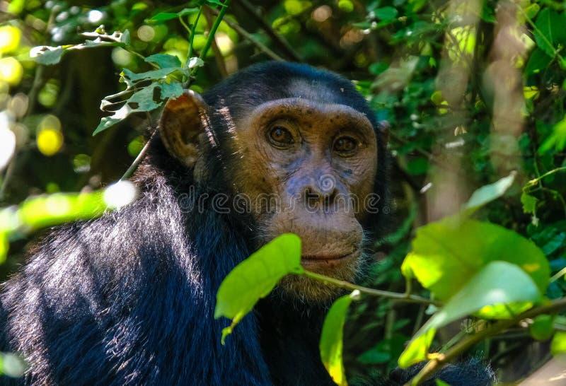 一只黑猩猩的特写镜头在一棵树附近的有被弄脏的自然本底 库存照片