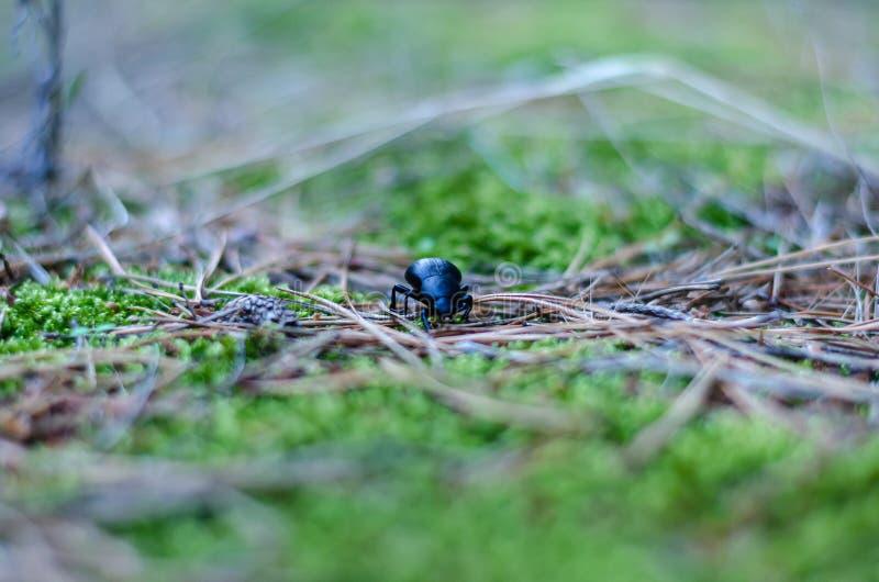 一只黑甲虫在草坪的绿草爬行 E 图片的水平的版本 库存照片