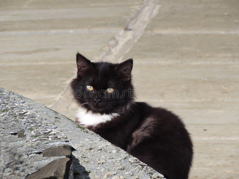 一只黑白波斯猫 库存图片