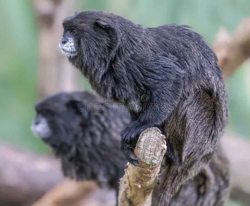 一只黑被覆盖的绢毛猴的对 库存照片
