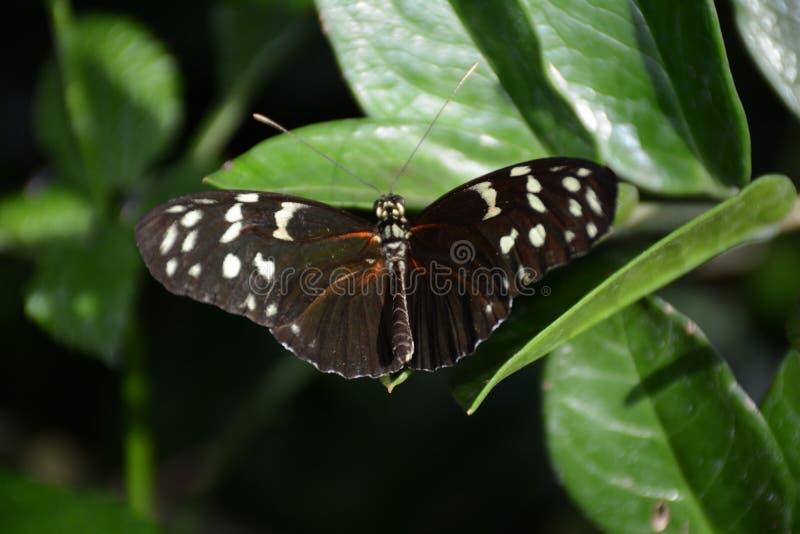 一只黑Longwing蝴蝶的射击的关闭 免版税库存照片