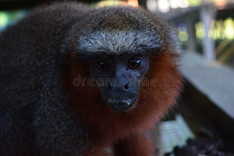 一只猴子的面孔在亚马逊密林的,秘鲁 免版税图库摄影