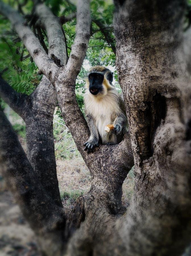一只猴子 图库摄影