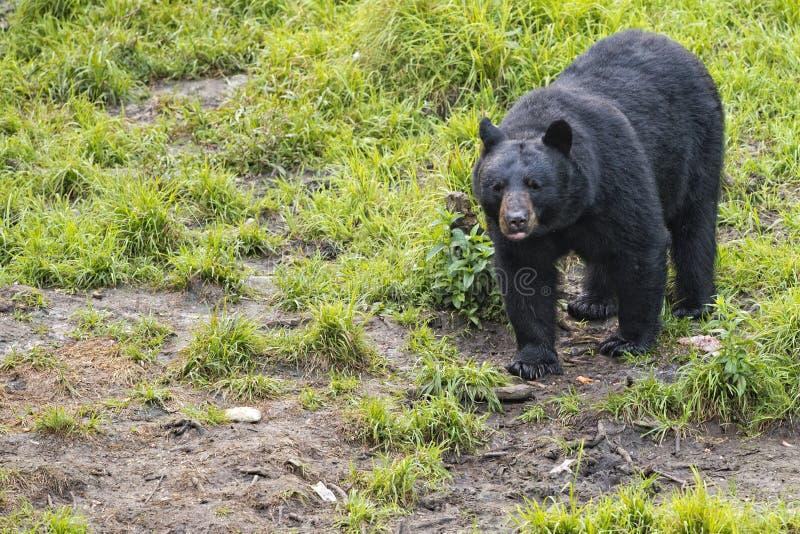 一只黑熊,当吃多福饼时 免版税库存照片