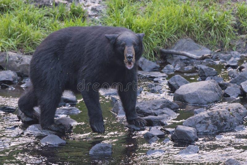 一只黑熊,当对您时的comig 免版税库存图片