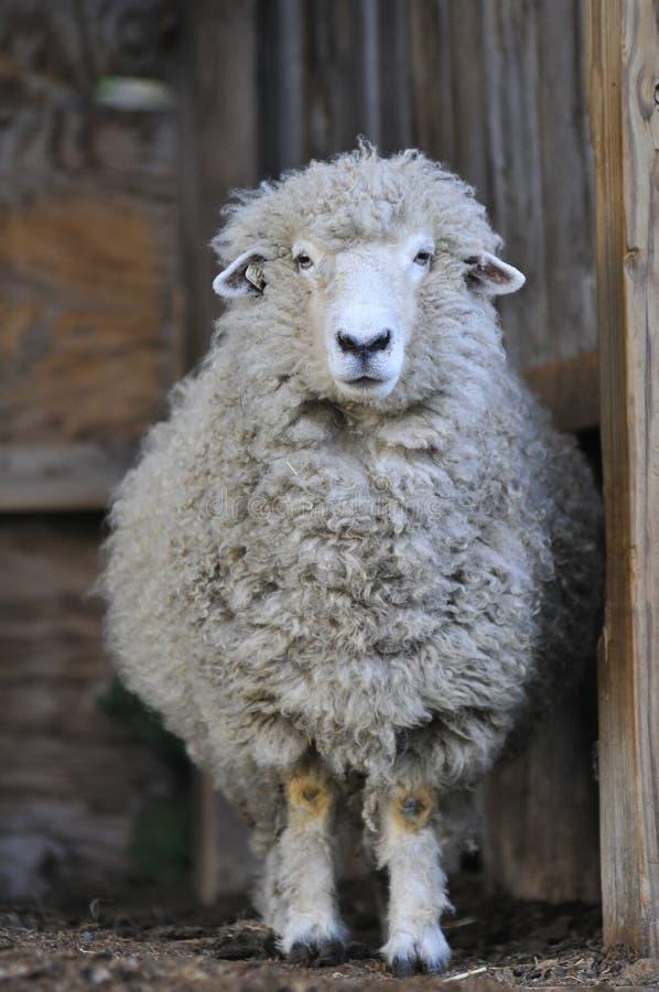 一只绵羊在谷仓 库存照片