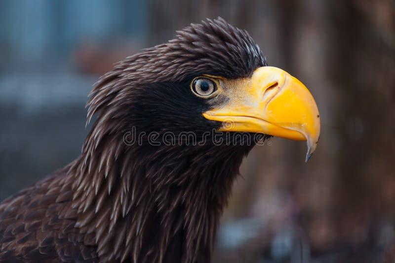 一只黑老鹰的画象 免版税库存图片