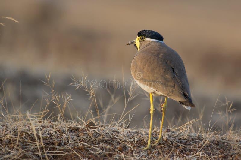 一只黄色Wattled田凫鸟 图库摄影