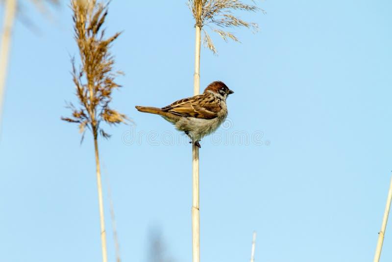 一只麻雀的动物小的鸟在藤茎的 免版税库存图片
