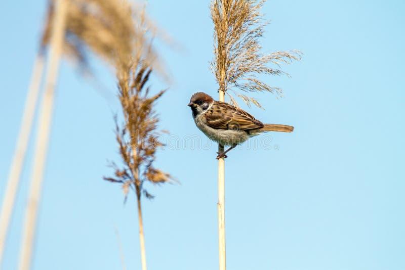 一只麻雀的动物小的鸟在藤茎的 免版税库存照片