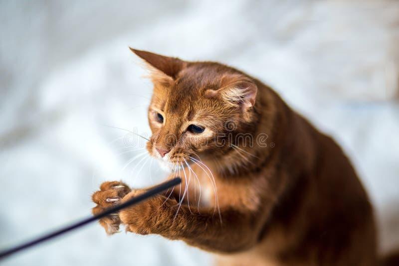 一只索马里猫的画象 库存照片