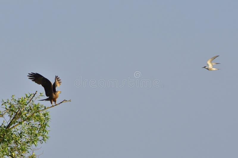 攻击一只黑鸢的共同的燕鸥 免版税库存图片