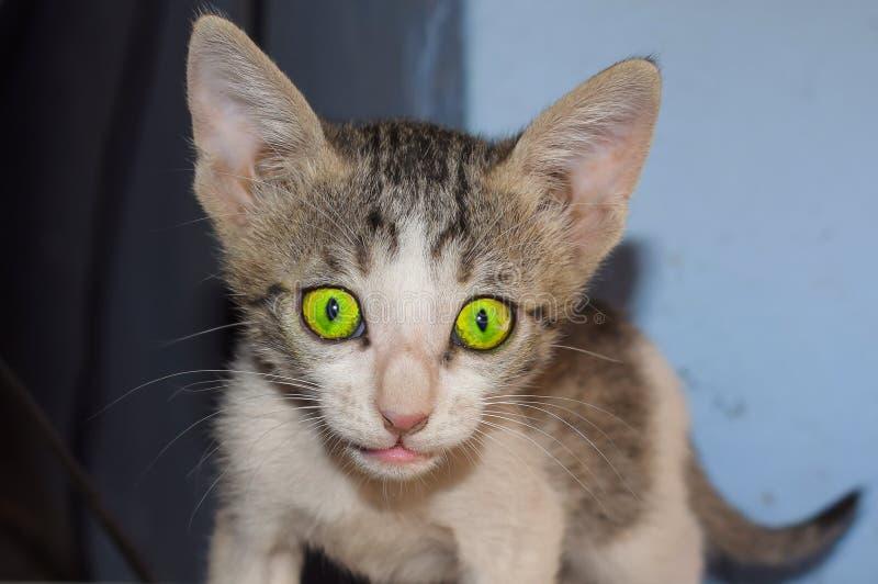 一只domrstic小猫的特写镜头在家 库存照片