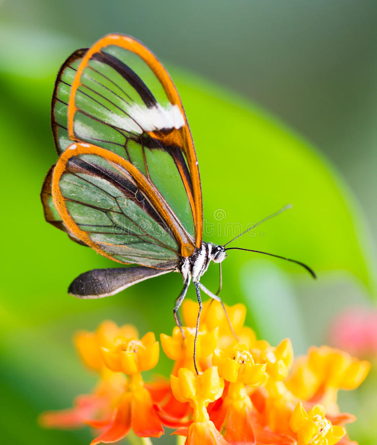 一只glasswinged蝴蝶的Maco在花的 库存照片