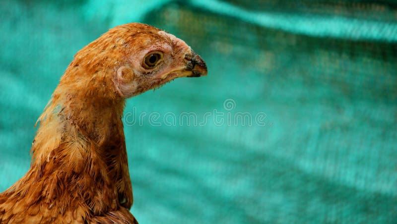 一只sicked母鸡的头 库存图片