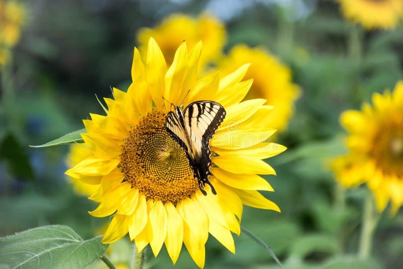 一只Swallowtail蝴蝶的特写镜头在向日葵的 免版税库存图片